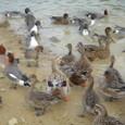 平荘湖の鴨たち